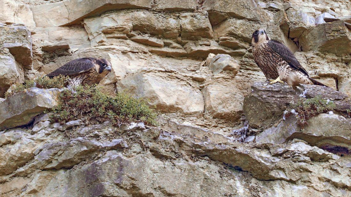 Gerade ausgeflogene Wanderfalken, noch in der Bettelflugphase, auf der Rupfkanzel, hatten sich gerade eine von ihren Eltern geschlagene Taube geteilt - also komplett wildlife. E-M1Mark2, M300mm+MC14, Ausschnitt.