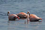 Freilebende Flamingos