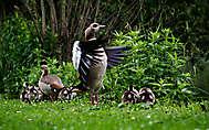 Gänsevögel