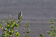 Greifvögel
