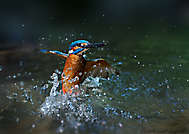 Eisvogelstart aus Wasser