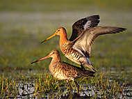 Paarung der Uferschnepfen