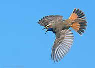 Blaukehlchen-Flug