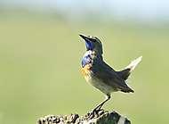 Blaukehlchen, Männchen_1