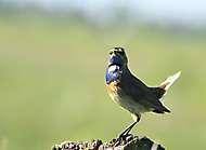 Blaukehlchen, Männchen_2