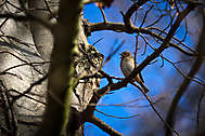 Buchfink bei seinem Frühlingslied