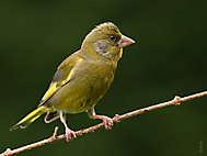 Grünfink, Männchen