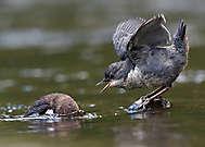 Junge Wasseramsel bettelt