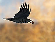 Rabenkrähe (Corvus<br />corone)
