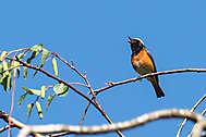 Singendes Gartenrotschwanz-Männchen